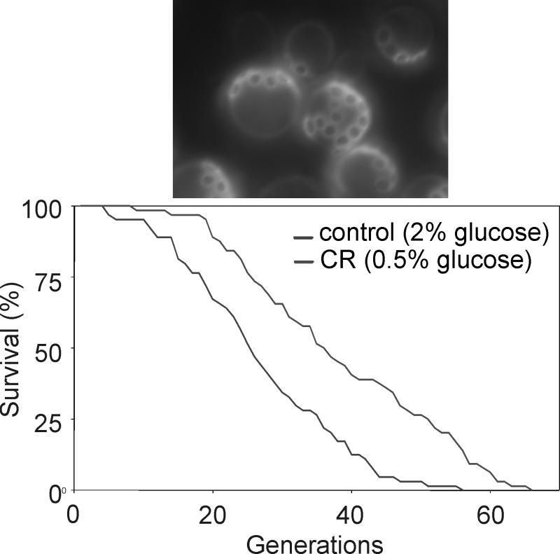 ¿Vive más tiempo con menos calorías? Encontrado la enzima clave involucrada en el proceso de envejecimiento 111031215938-large