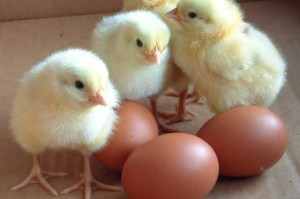 chicken-eggs